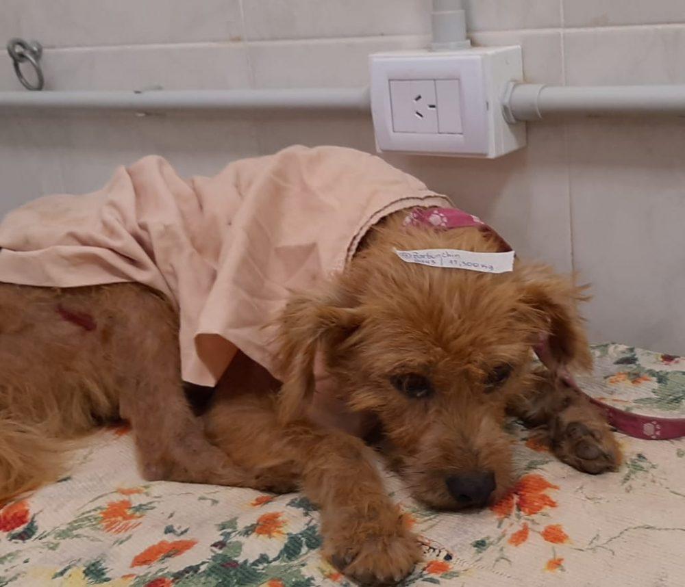 barbuchin postoperatorio - Controversia por varias denuncias de maltrato animal contra una familia